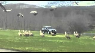 Los buitres, cada día más cerca de las localidades campurrianas