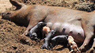 La cerda y sus crías, aprendiendo a vivir