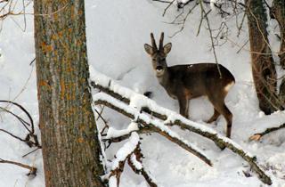 El corzo en la nieve