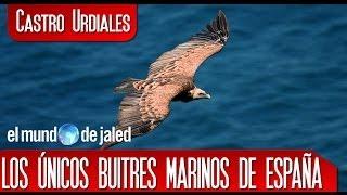 CASTRO URDIALES | Sonabia los únicos BUITRES MARINOS en ESPAÑA - Cantabria