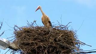 Las cigüeñas de Reinosilla (Valdeolea)
